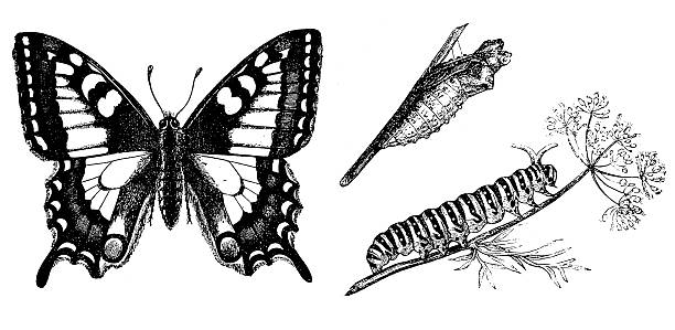 stockillustraties, clipart, cartoons en iconen met old world swallowtail (papilio machaon) - rups