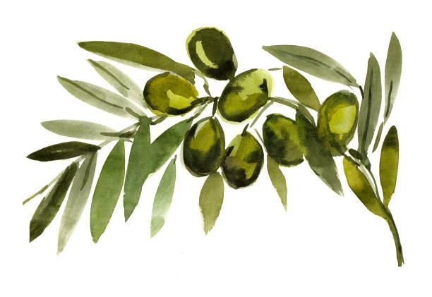 Olive Branch , Olives, Sketch, mediterranean food image 300dpi, Sketch, Olive Branch, olive branch stock illustrations