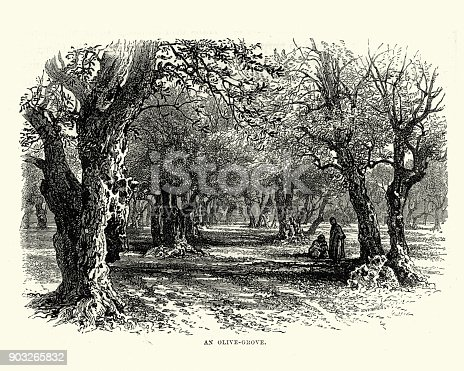 Vintage engraving of a Olive grove in the holy land, 19th Century