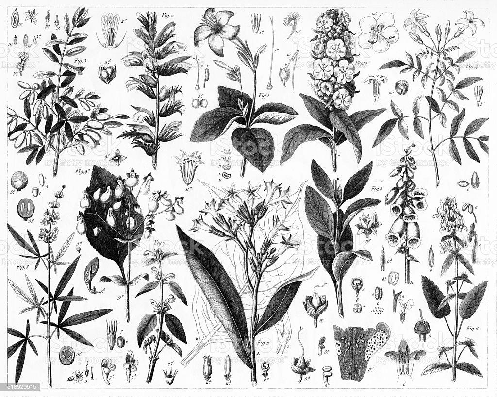 Olive, Verbena, Mint and Fig Plants vector art illustration