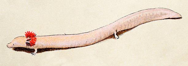 Olm or proteus, reptiles animals antique illustration vector art illustration