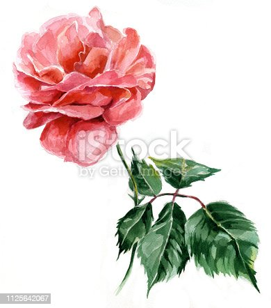 one rose watercolor. traditional painting on paper