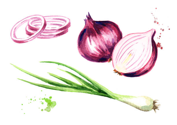 Onion and green chive. Watercolor hand drawn illustration, isolated on white background Onion and green chive. Watercolor hand drawn illustration, isolated on white background scallion stock illustrations