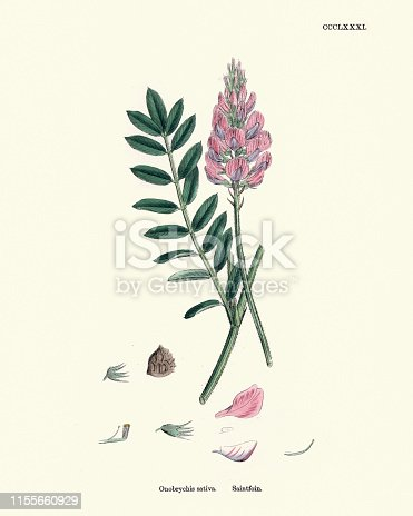 Vintage engraving of Onobrychis sativa, sainfoin, botanical print. Onobrychis, the sainfoins, are Eurasian perennial herbs of the legume family (Fabaceae).  English Botany, John T Bosell