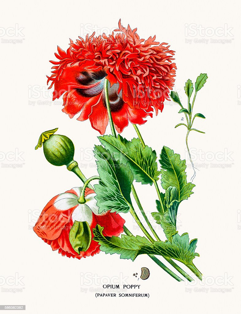 Opium Poppy Stock Vector Art More Images Of 19th Century Style