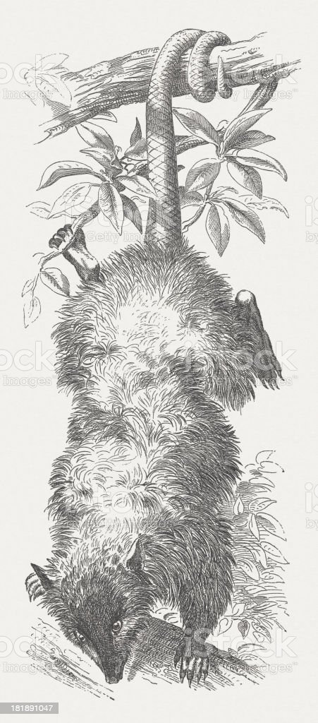 Opposum (Didelphis virginiana), wood engraving, published in 1875 royalty-free stock vector art