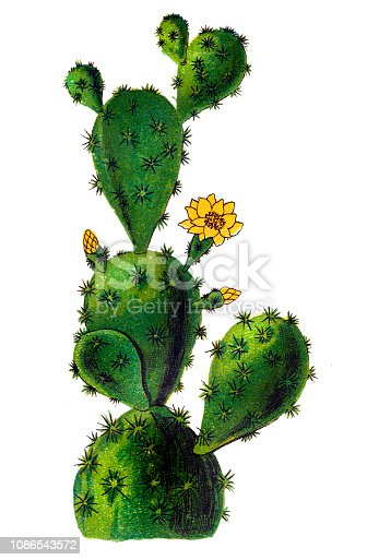 Illustration of a Opuntia monacantha, commonly known as drooping prickly pear, cochineal prickly pear, or Barbary fig