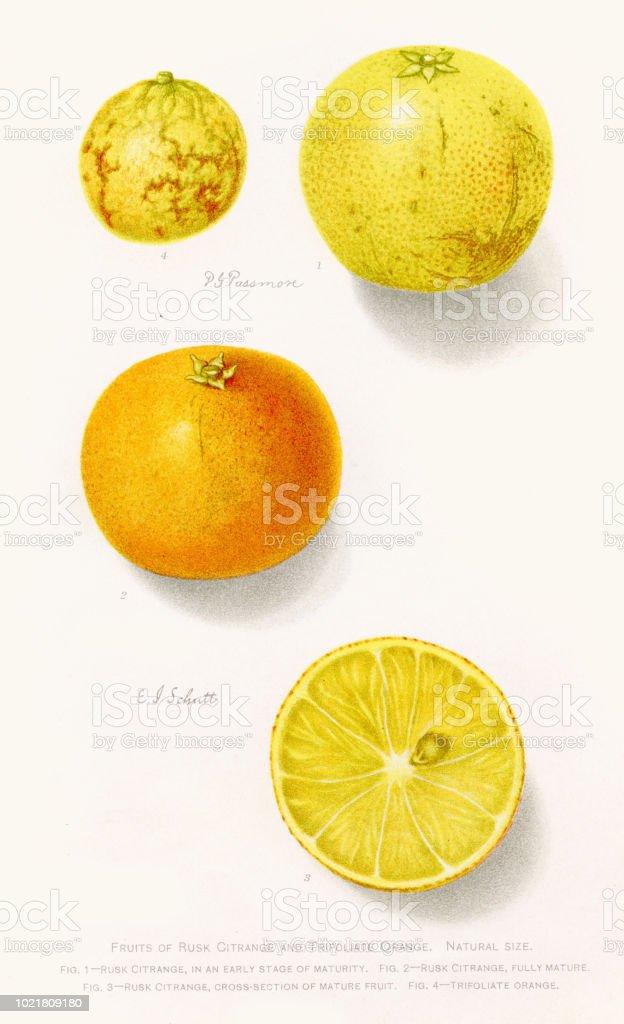Orange and citrange illustration 1892 vector art illustration