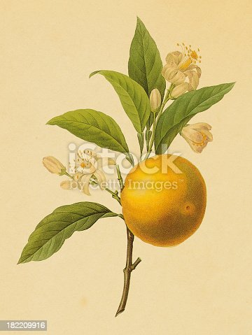 istock Orange | Antique Flower Illustrations 182209916