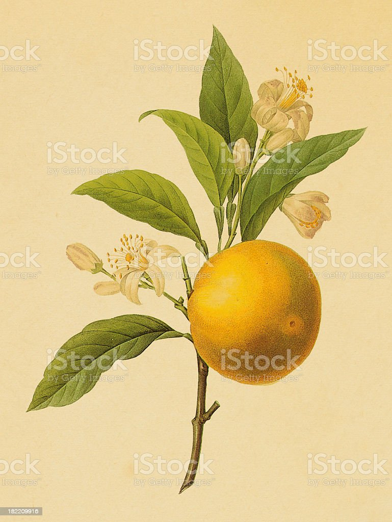 Orange | Antique Flower Illustrations vector art illustration