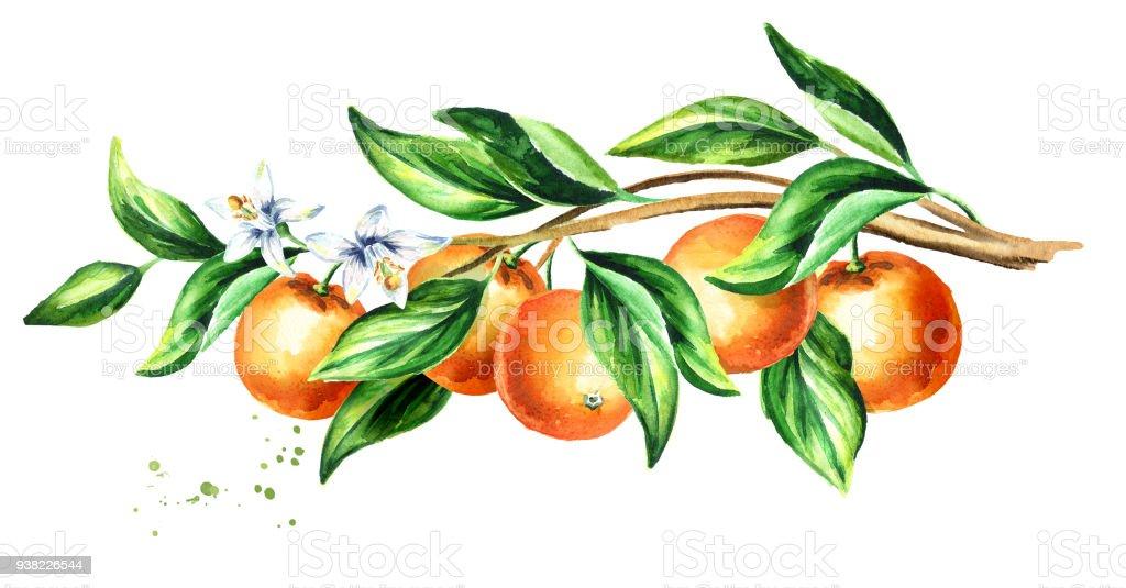 Orange Zweig Mit Früchten Und Blättern Horizontale Aquarell ...