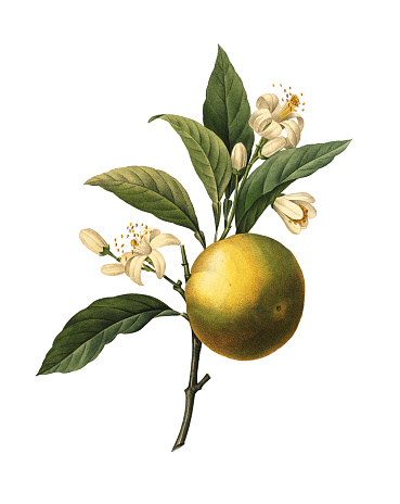 High resolution illustration of an orange fruit, isolated on white background. Engraving by Pierre-Joseph Redoute. Published in Choix Des Plus Belles Fleurs, Paris (1827).