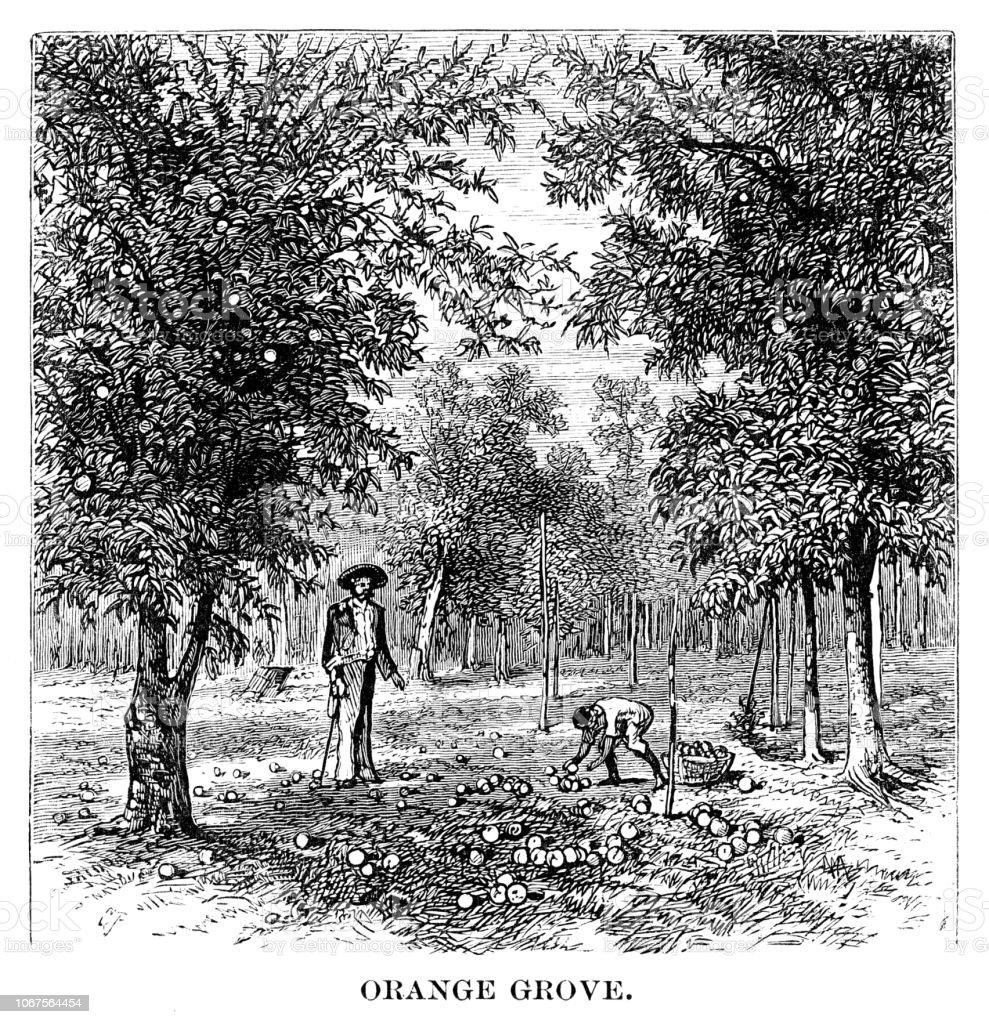 Orange grove Orange grove - Scanned 1880 Engraving 19th Century stock illustration