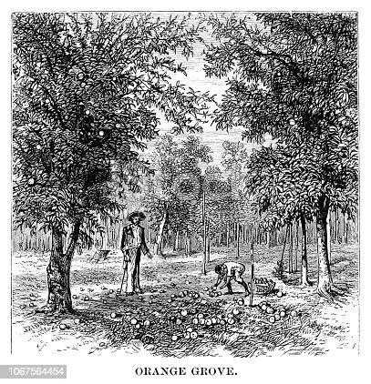 Orange grove - Scanned 1880 Engraving
