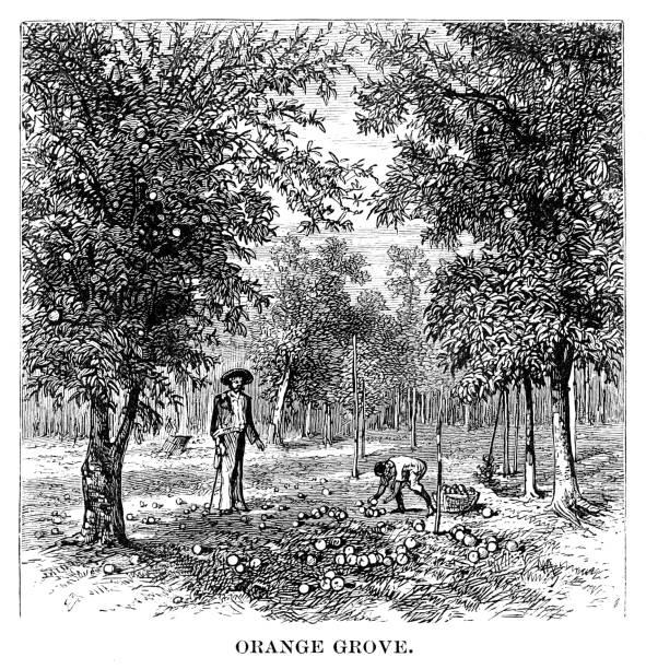 Orange grove Orange grove - Scanned 1880 Engraving picking harvesting stock illustrations