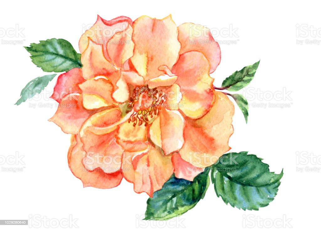 Dessin De Rose Aquarelle Orange Cliparts Vectoriels Et Plus D