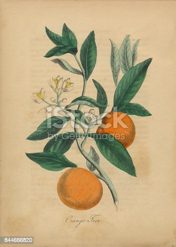 Extremely Rare, Beautifully Illustrated Antique Victorian Engraved Botanical Illustration of the Hand Colored Chinese Orange Tree from The American Flora, History of Plants and Wild Flowers: Their Scientific and General Descriptions, Natural History, Chemical and Medical Properties, Mode of Culture and Propagation. A Book of Reference for Botanists, Physicians, Florists, Gardeners and Students. Published in 1853. Copyright has expired on this artwork. Digitally restored.