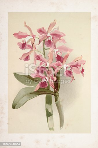Orchid engraving Laelio Cattleya Elegans var blenheimensis orchid flower from 1888 Original edition from my own archives Source : Reichenbachia Orchids 1888