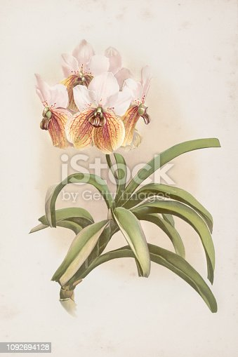 Orchid engraving Vanda sanderiana orchid flower from 1890 Original edition from my own archives Source : Reichenbachia Orchids 1890