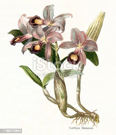 Guarianthe skinneri is a species of orchid. It is native to Costa Rica; from Chiapas to every country in Central America Original edition from my own archives Source :