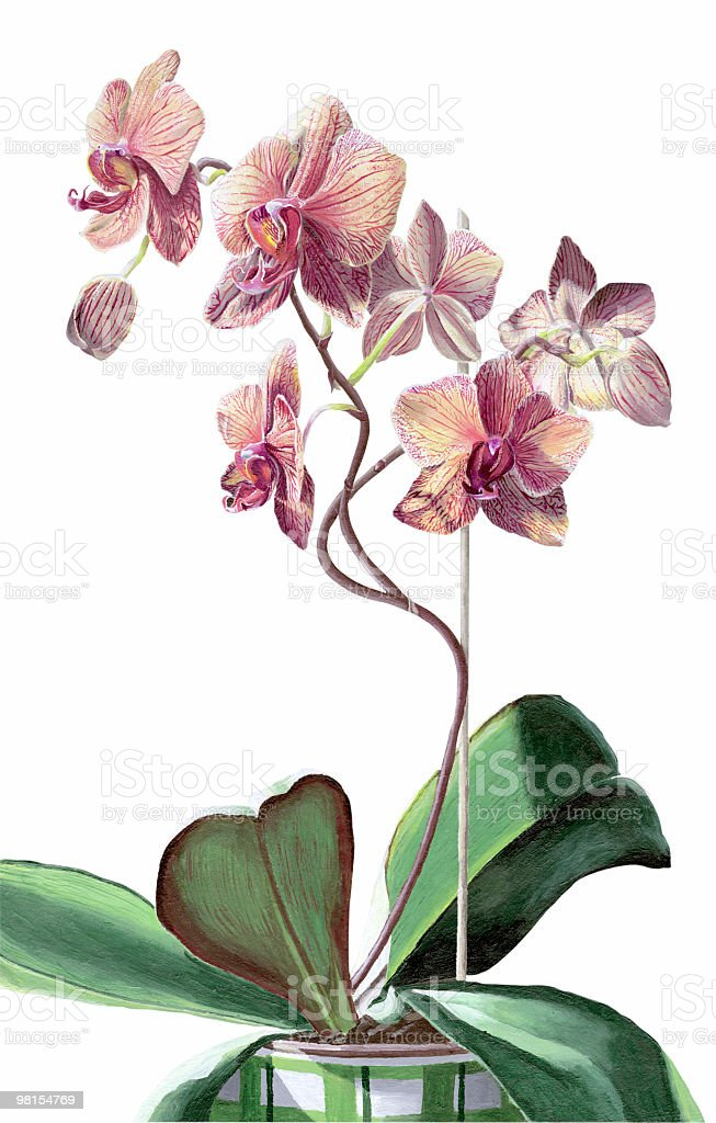 Orchid on White Background royalty-free orchid on white background stock vector art & more images of acrylic painting