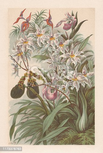 Orchids. Chromolithograph, published in 1894.