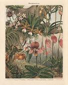 Orchids (Orchidaceae): 1) Red Bead Orchid (Bulbophyllum minutissimum, or Oncophyllum minutissimum); 2) Mandarin Orchid (Cypripedium caudatum, or Phragmipedium caudatum); 3) Cypripedium tessellatum porphyreum; 4) Red disa (Disa grandiflora, or Disa uniflora); 5) Huntleya violacea; 6) Masdevallia Lindeni grandiflora, or Masdevallia coccinea; 7) Oncidium Papilio, or Psychopsis papilio; 8) Sobralia liliastrum; 9) Trichocentron trigrinum splendens, or Trichocentrum tigrinum; 10) Vanda boxalli, Vanda lamellata var.boxalii. Chromolithograph, published in 1897.