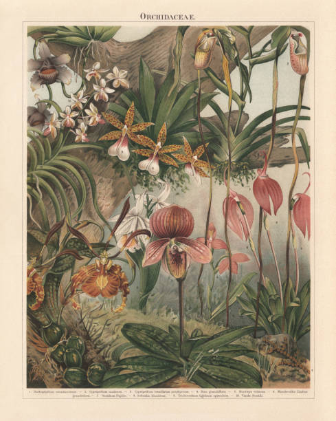 stockillustraties, clipart, cartoons en iconen met orchideeën (orchidaceae), chromolithograph, gepubliceerd in 1897 - botanie
