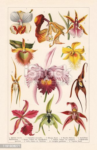 Orchids (Orchidaceae): 1) Aganisia cyanea (or Aganisia tricolor); 2) Coryanthes macrantha; 3) Clowes' miltonia (Miltonia clowesii, or Miltonia blunti); 4) Epidendrum medusae (or Nanodes medusae); 5) Brymer's dendrobium (Dendrobium brymerianum); 6) Brassia caudata; 7) Christmas orchid (Cattleya trianae); 8) Dracula spectrum (or Masdevallia spectrum); 9) Cattleya (Laelia elegans); 10) Coelogyne pandurata; 11) Taphinia randi.  Chromolithograph, published in 1900.