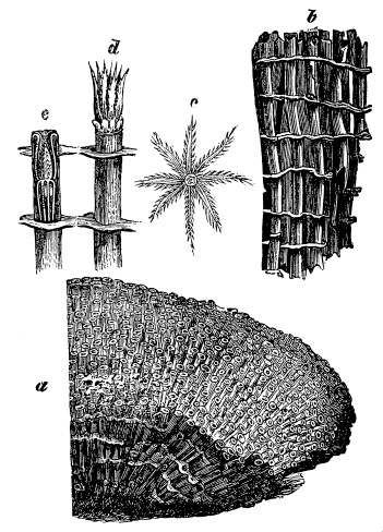 Organ Pipe Coral (Tubipora Musica)