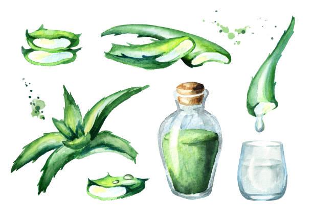 유기농 알로에 베라 추출 물 세트입니다. 수채화 손으로 그린 그림 - aloe vera stock illustrations