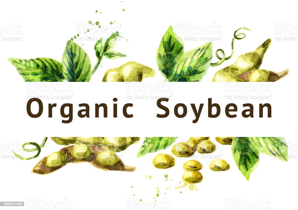 Organic Soybean background. Watercolor hand drawn illustration. vector art illustration
