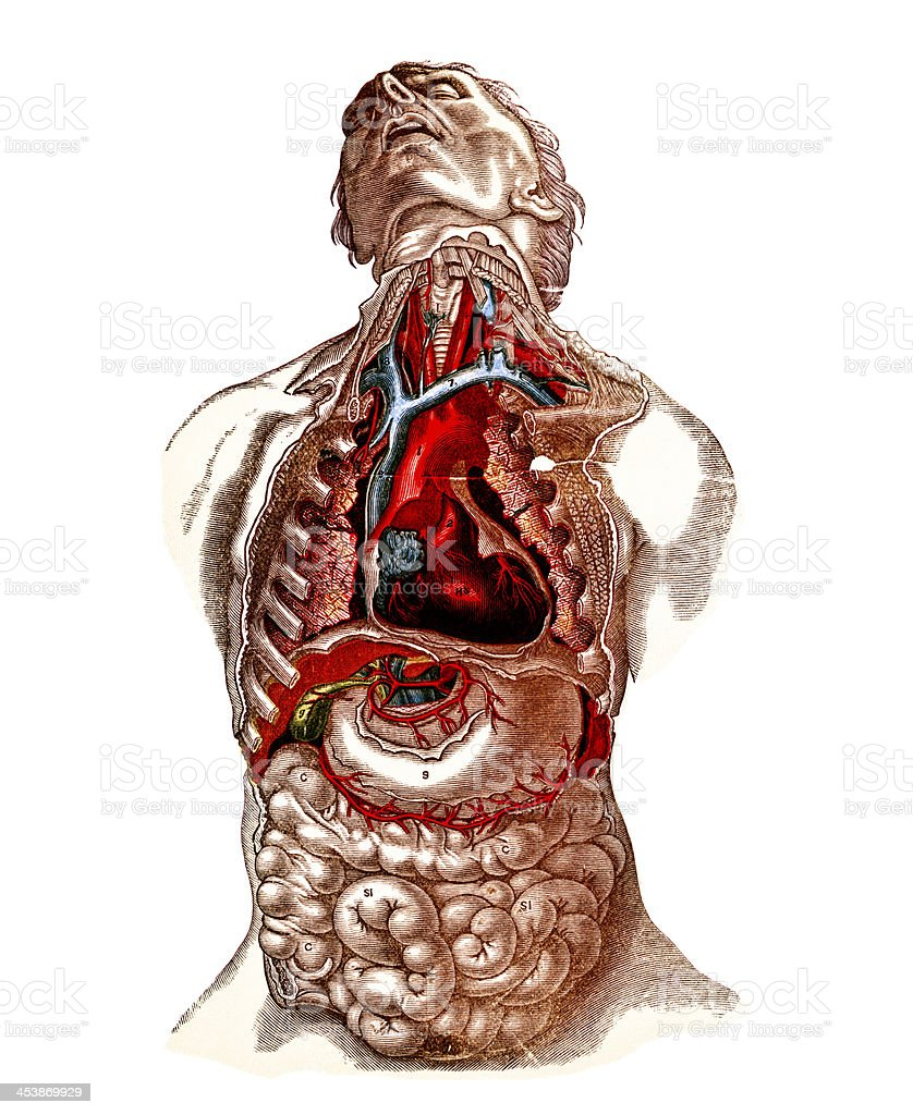 Ilustración de Los órganos De Tórax Y Abdomen Siglo Xix y más banco ...