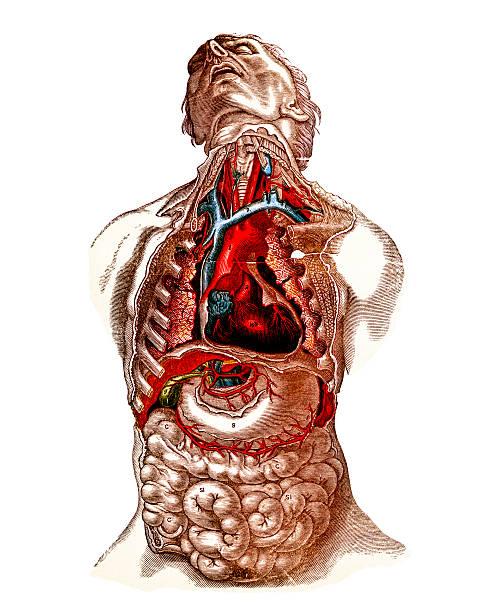 Royalty Free Brachiocephalic Artery Clip Art, Vector Images ...