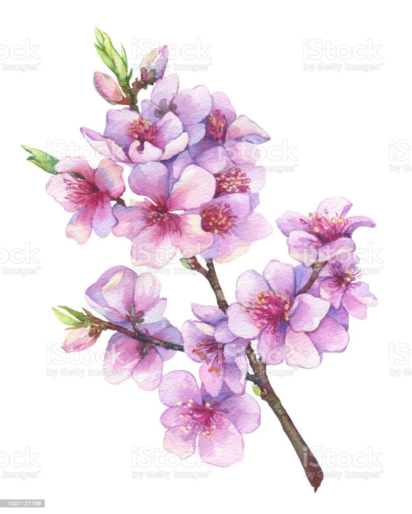 Oriental Cherry Branch With Pink Flowers Japan Sakura Blossom