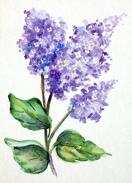 Original Art Watercolor painting of Lilacs Hand painted purple and lavender lilac flowers on  watercolor paper. Property Release on file. Vertical image. lavender color stock illustrations