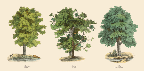 Very Rare, Beautifully Illustrated Antique Engraved Victorian Botanical Illustration of Trees in the Forest Including Ash, Oak and Linden: Plate 43, from The Book of Practical Botany in Word and Image (Lehrbuch der praktischen Pflanzenkunde in Wort und Bild), Published in 1886. Copyright has expired on this artwork. Digitally restored.