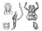 Orthoptera anatomy