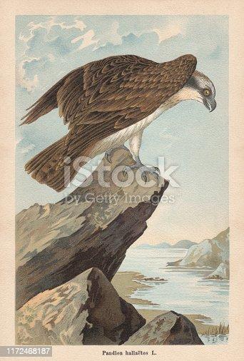 Osprey (Pandion haliaetus). Chromolithograph, published in 1896.