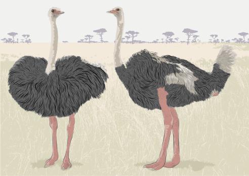 Ostrich Conversation