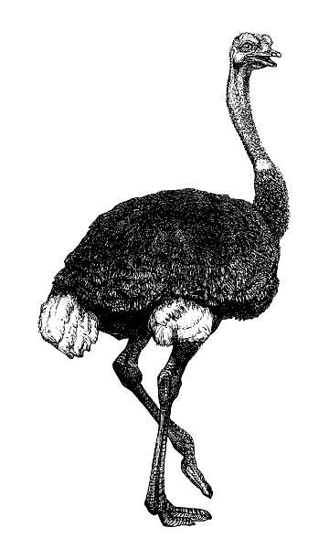 Autruche - Illustration vectorielle
