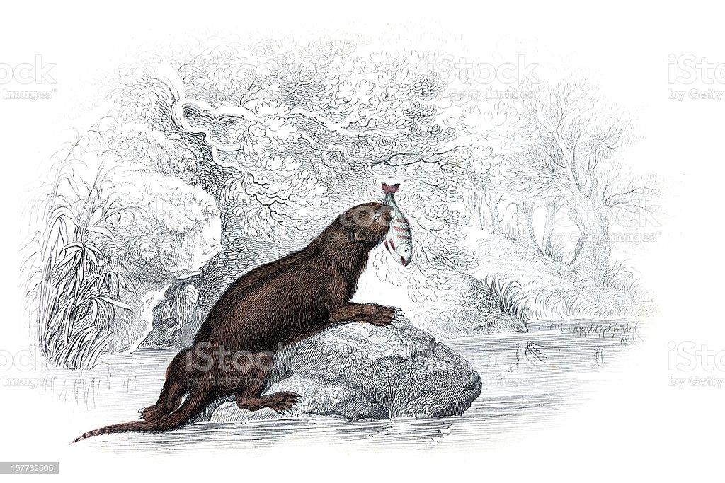 Otter - Hand Coloured Engraving vector art illustration