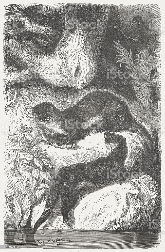 Otters (Lutra lutra), wood engraving, published in 1875 royalty-free stock vector art