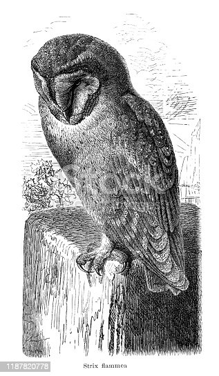 Owl ( Strix flammea ) 1895 Strix is a genus of owls in the typical owl family (Strigidae), one of the two generally accepted living families of owls, with the other being the barn-owl (Tytonidae)  Original edition from my own archives Source :