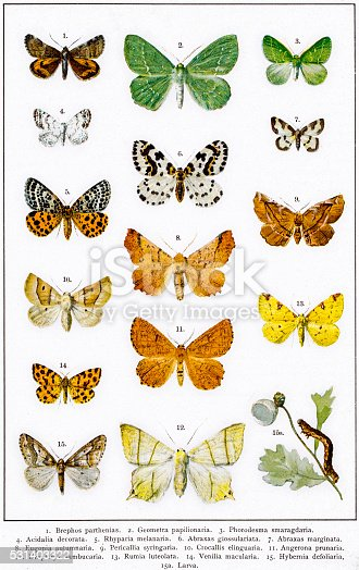 istock Owlet, magpie and other moths 531403322