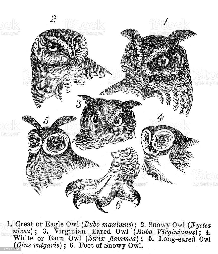 Owls向量藝術插圖