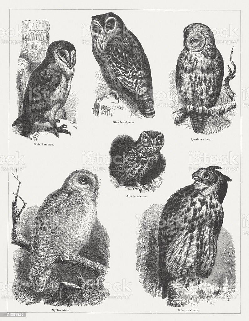 Owls (Strigiformes), wood engravings, published in 1875向量藝術插圖