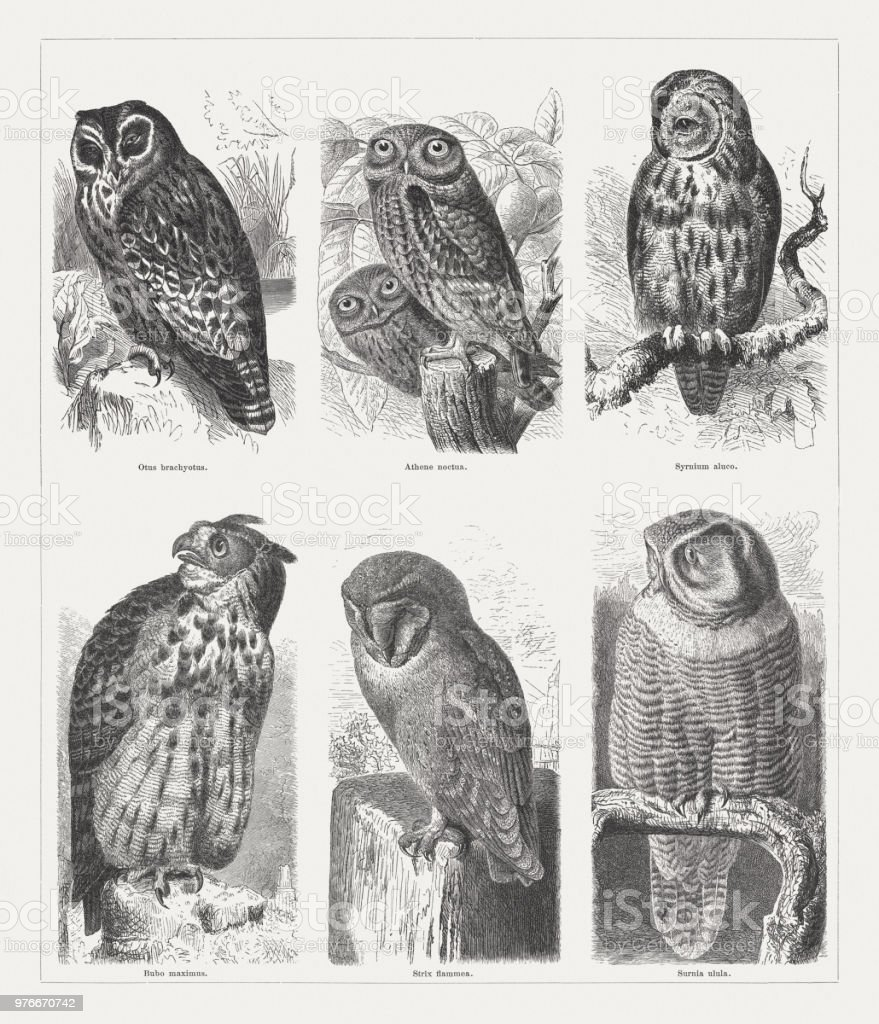 Owls, wood engravings, published in 1897 vector art illustration