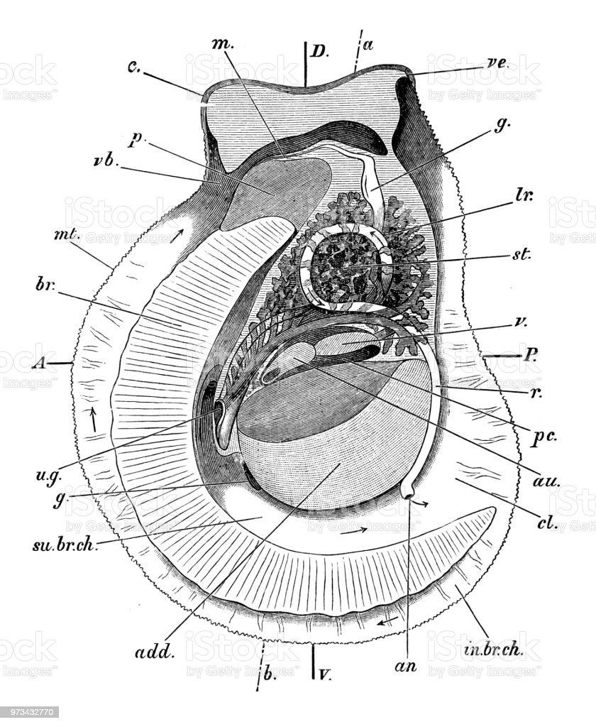 Oyster vector art illustration