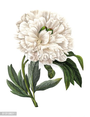High resolution illustration of a Paeonia officinalis (European peony or common peony). Engraving by Pierre-Joseph Redoute. Published in Choix Des Plus Belles Fleurs, Paris (1827).